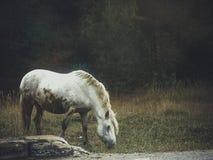 Белая лошадь Стоковое Изображение