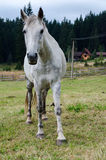 Белая лошадь Стоковые Изображения RF
