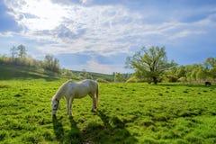 Белая лошадь Стоковое Фото