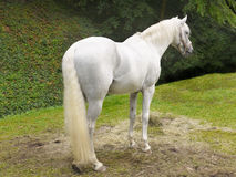Белая лошадь Стоковые Изображения