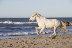 Белая лошадь camargue Стоковое Изображение