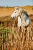 Белая лошадь Camargue Стоковые Фотографии RF