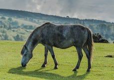 Белая одичалая лошадь пони пася на траве Стоковые Фотографии RF