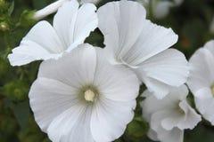 Белая петунья стоковая фотография
