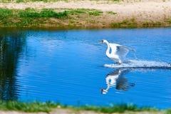 Белая посадка лебедя Стоковые Изображения