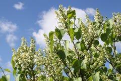 Белая предпосылка неба цветка сирени Стоковые Фото