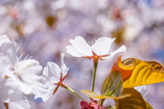 Белая предпосылка пинка цветка Сакуры Стоковые Изображения