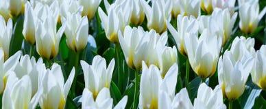 Белая предпосылка праздника тюльпанов Стоковое Фото