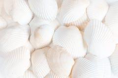 Белая предпосылка раковин Стоковые Изображения RF