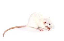 Белая причудливая крыса есть кусок хлеба Стоковые Изображения RF