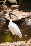 Белая птица (австралийская черная голова ibis) Стоковое Изображение RF