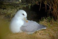 Белая птица в гнезде утеса с травой Северный глупыш, glacialis Fulmarus, гнездясь на темной скале 2 птицы белых моря в Стоковое Фото