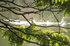 Белая птица в дереве перед озером Канди, Шри-Ланкой Стоковые Фотографии RF