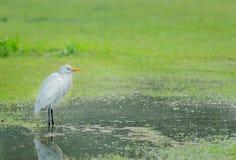 Белая птица в лужке и воде стоковая фотография