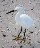 Белая птица стоя на песке с раковинами Стоковая Фотография RF