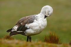 Белая птица с длинной шеей Белая гусыня в траве Белая птица в зеленой траве Гусына в траве Одичалая белая гусыня нагорья, c Стоковые Изображения