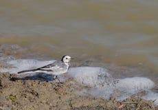 Белая птица трясогузки (dukhunensis Motacilla alba) стоковое изображение