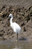 Белая птица цапли в Кении Африке Стоковая Фотография
