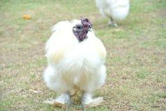 Белая птица Bantam Стоковые Фото