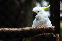 Белая птица Kakak Tua Стоковая Фотография