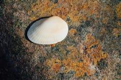 Белая раковина на предпосылке текстуры камня моря с местом ржавчины для текста Стоковые Фото
