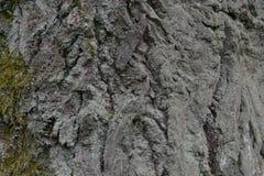 Белая расшива старого дерева в лесе Стоковая Фотография