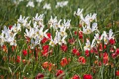 Белая радужка и красные тюльпаны стоковое изображение