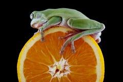 Белая древесная лягушка ` s Стоковое Изображение RF