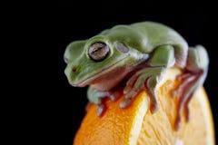 Белая древесная лягушка ` s Стоковое Изображение