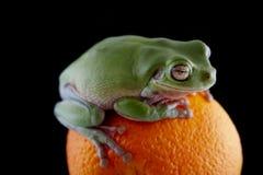 Белая древесная лягушка ` s Стоковые Фотографии RF