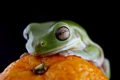 Белая древесная лягушка ` s Стоковые Изображения