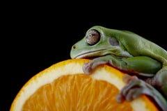 Белая древесная лягушка ` s Стоковая Фотография