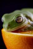 Белая древесная лягушка ` s Стоковое Фото