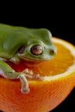 Белая древесная лягушка ` s Стоковое фото RF