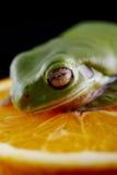 Белая древесная лягушка ` s Стоковая Фотография RF