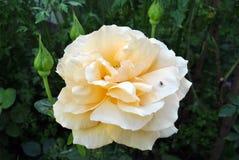 Белая роза в деревне Природа Украина стоковое фото rf