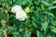 белая роза в предпосылке природы сада Стоковое Фото
