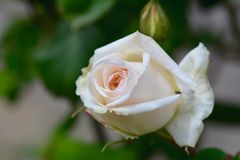 Белая роза в саде Стоковая Фотография