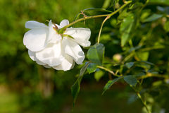 Белая роза в саде Стоковое фото RF