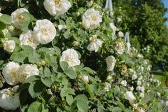 Белая роза в саде Стоковые Фотографии RF