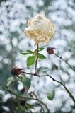 Белая роза в wintergarden Стоковое Изображение RF