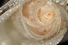 Белая роза лепестков с падениями воды Стоковые Фотографии RF