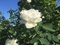 Белая роза зацветая на ясный день Стоковое фото RF