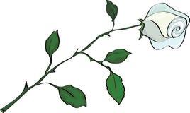 Белая роза, изолированная на белизне Стоковое Изображение