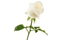 Белая роза изолированная на белой предпосылке Стоковое Изображение