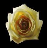 Белая роза изолированная на черной предпосылке Стоковая Фотография