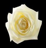 Белая роза изолированная на черной предпосылке Стоковое фото RF