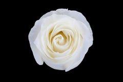 Белая роза изолированная на черноте Стоковое фото RF