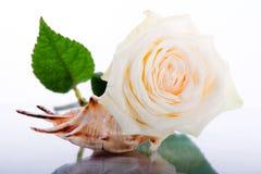 Белая роза и seashell Стоковое фото RF