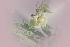 Белая роза на запачканной предпосылке Стоковая Фотография RF
